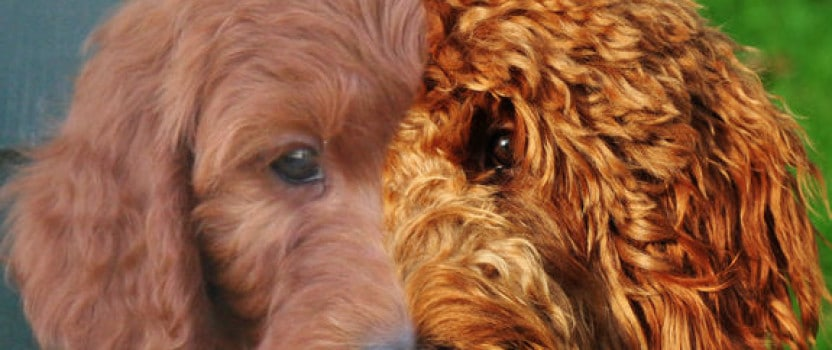 Welcome All! Goldendoodle Breeder Blog