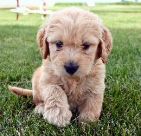 Shipping your Goldendoodle puppy