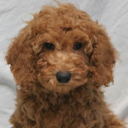 Moyen Poodle Puppies for Sale from Sunshine Acres