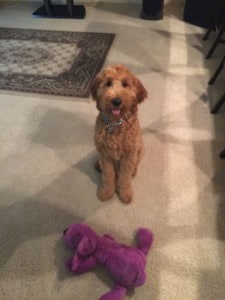Apollo, Irish Goldendoodle