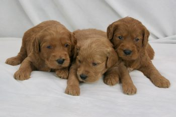 Red Goldendoodle Puppies for Sale near Chicago