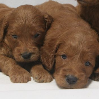 F1 Irish Goldendoodles from Dakota's Litter