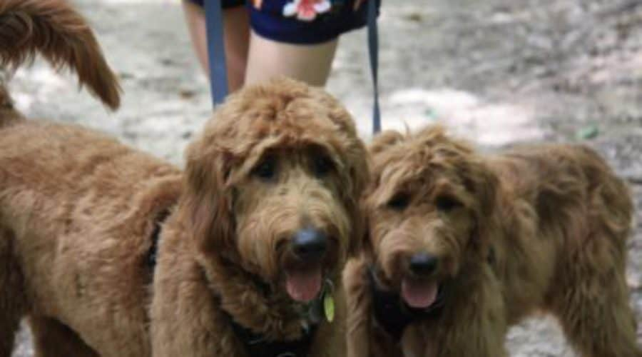 Dakota's Red Goldendoodle Puppies for Sale |