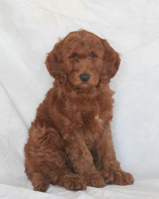 goldendoodle puppies for sale in Chicago (Chicagoland)