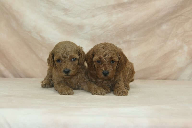 red miniature goldendoodle puppies for sale