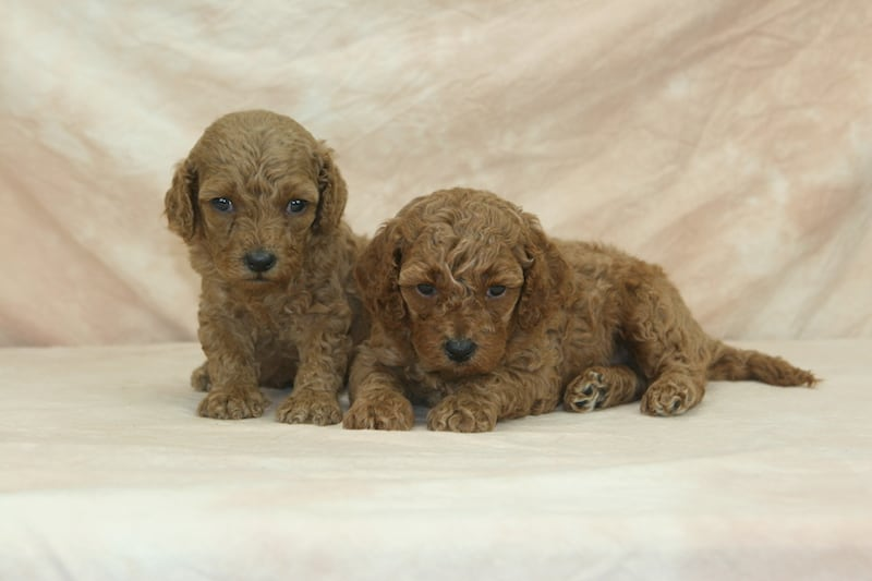 minigoldendoodles puppies for sale