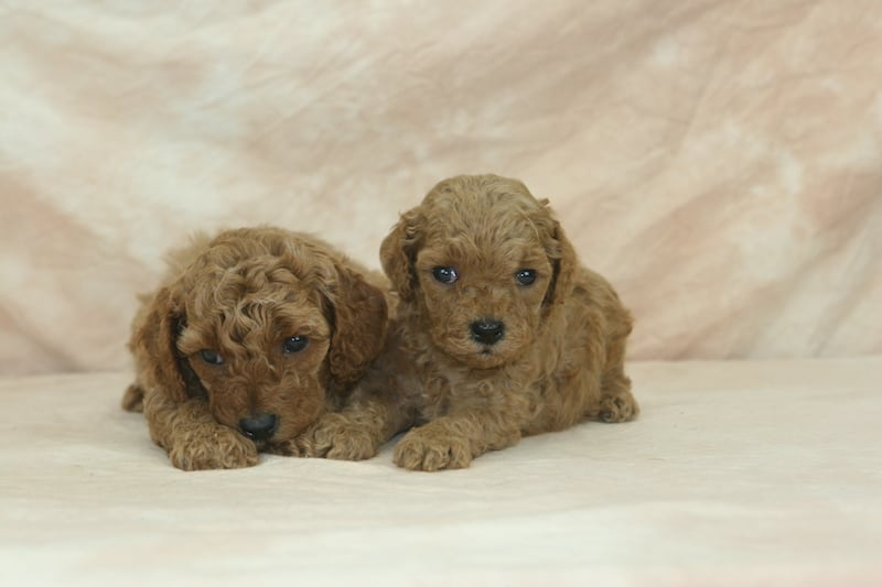 red moyen poodle breeder