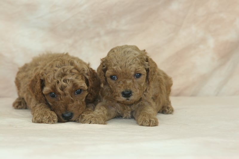 red mini goldendoodle puppies for sale