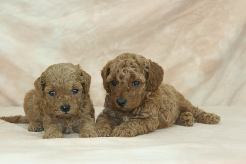 apricot mini-goldendoodle puppies for sale