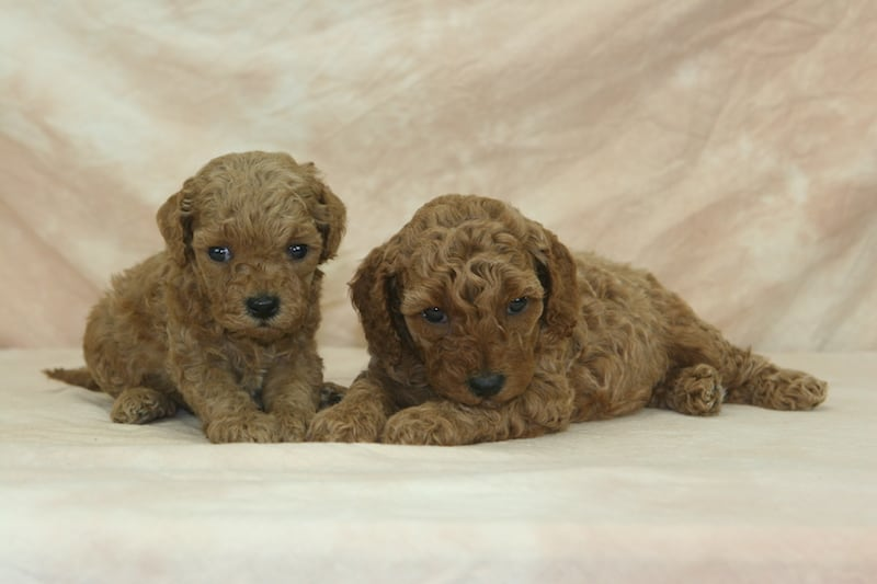 apricot miniature goldendoodle puppies for sale