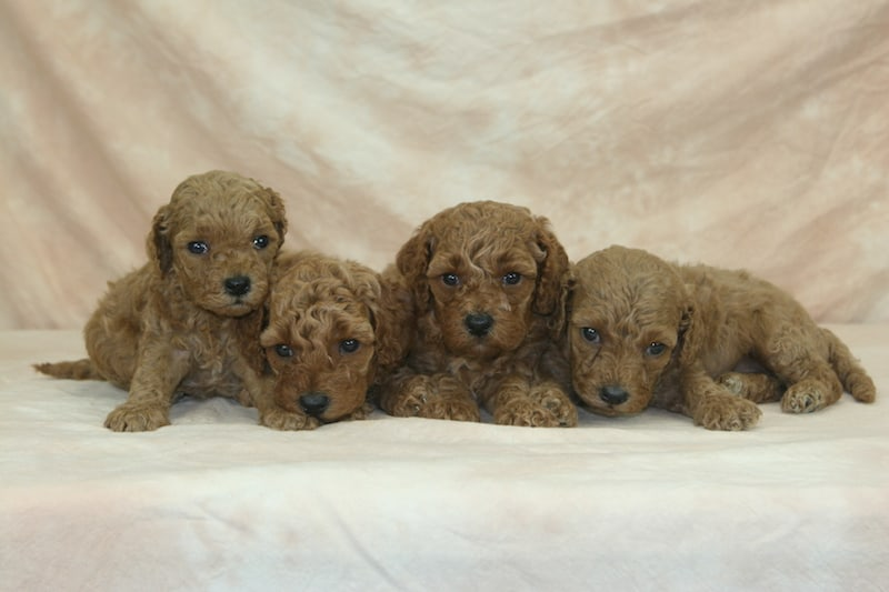 red moyen poodles