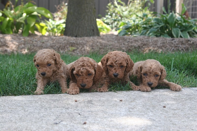 moyen poodle puppies for sale