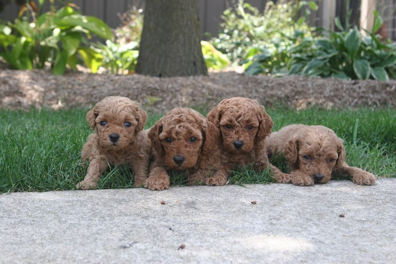 apricot moyen poodle puppies for sale