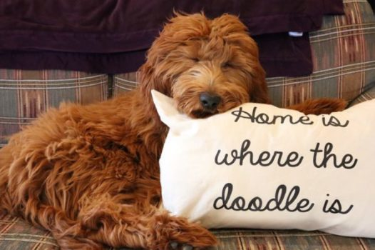 Goldendoodle Puppies for Sale from Sunshine Acres