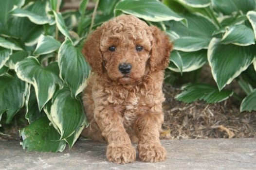 Red And Apricot Moyen Poodle Puppies For Sale