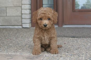 Moyen Poodle Puppies for Sale - Illinois