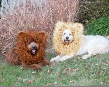 Standard Sunshine Acres Goldendoodle at 50 lbs (on left). Minigoldendoodle from somewhere else at 70 lbs (on right)