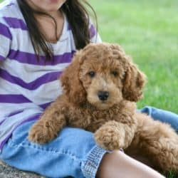 Moyen Poodle Red And Apricot Look Like Mini Goldendoodle