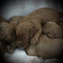 Duchess's Litter